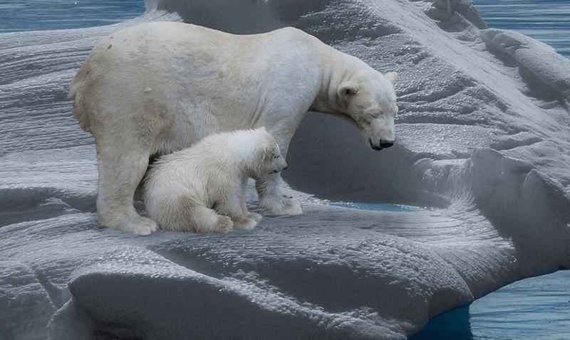 L'ours polaire est en danger - Le blog du hérisson