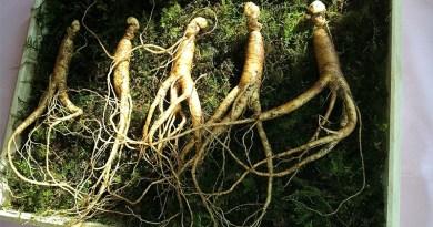 3 plantes adaptogènes chinoises contre le stress - Le blog du hérisson