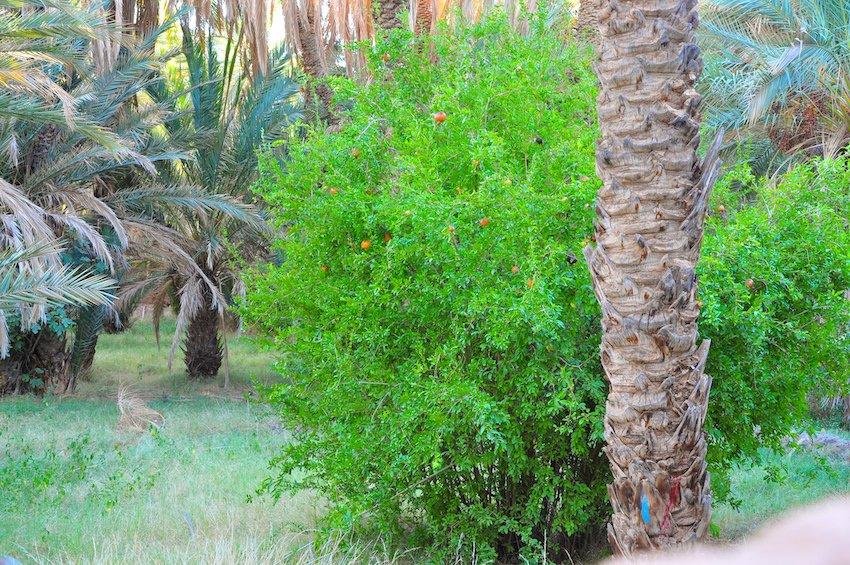 Les palmiers dattiers