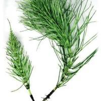 La prêle des champs : plante reconstituante des tissus
