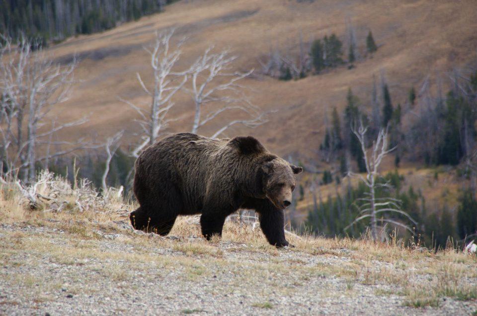 Yellowstone – #2 Ses paysages & ses animaux en liberté