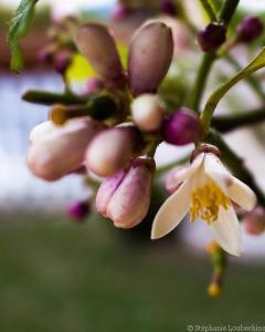 Fleur de citronier