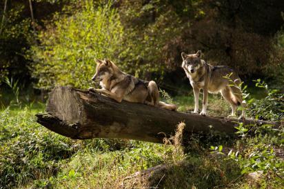Loups du Mercantour