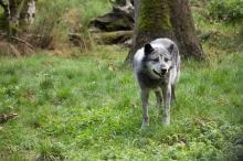 Loup noir du Yellowstone
