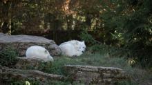 Loups blancs