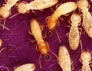 Diagnostic Termites