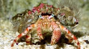 Aussi appelé le bernard-l'hermite à yeux verts est surtout répandu en mer Rouge et mesure environ 10 cm. Photo : Aquarium de La Rochelle.