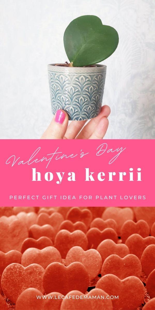 valentine hoya plant