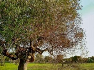 ulivo-affetto-da-Xylella-fastidiosa-11