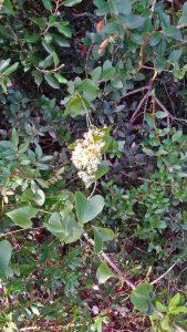 rauccio-flora
