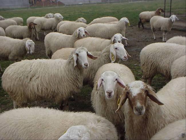 Imagen Razas de oveja de aptitud láctea