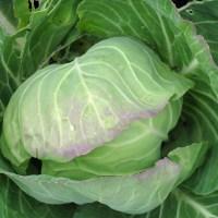 White cabbage salad – basic German recipe