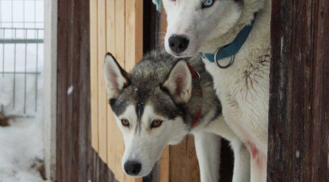 Cherche handler ou musher en Suède