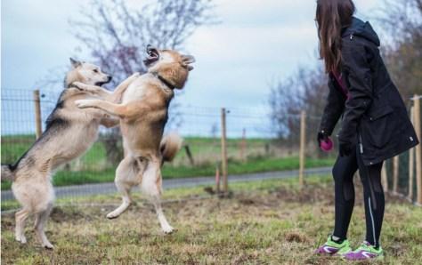 Recherche poste de handleur en France pour 2020-2021. La photo présente une femme qui joue avec des chiens.