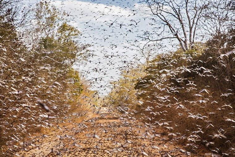 locuste-africa