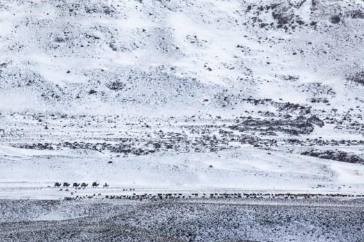 Camels caravan