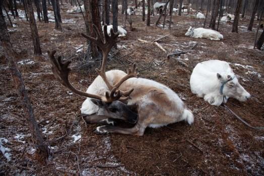 herding_reindeer_13