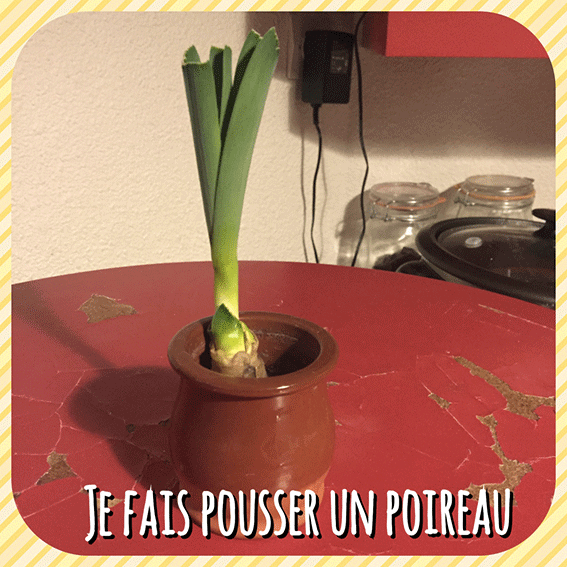 Je fais pousser... Un poireau dans ma cuisine!