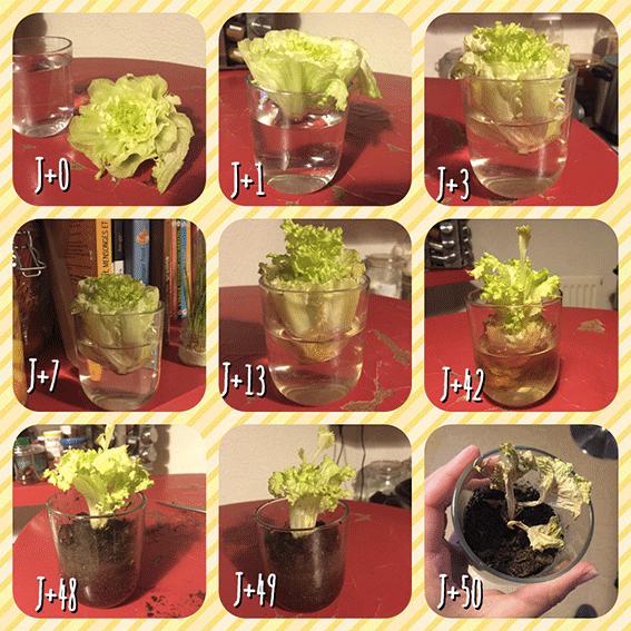 comment faire pousser une salade dans de l 39 eau le corps la maison l 39 esprit. Black Bedroom Furniture Sets. Home Design Ideas