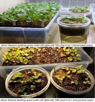 Brassica seedlings light intensity comparison