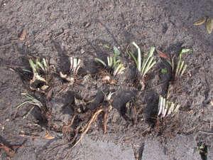 Как сажать лиатрис семенами