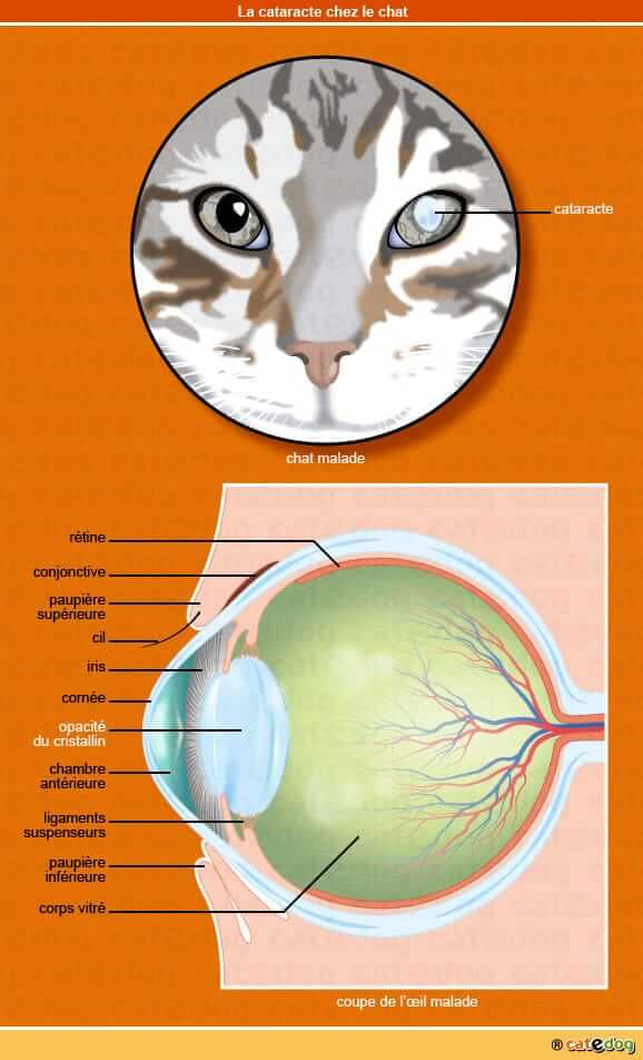 la cataracte chez le chat conseil naturopathe animalier