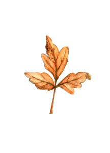 Poison Oak? Small trifoliate leaf from viny shrub painted in Da Vinci watercolours