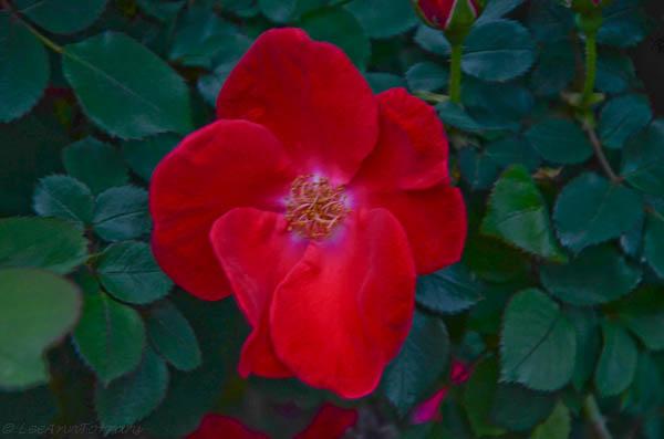 Homerun Red Shrub Rose