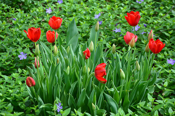 Neil Sperry says tulips should be used as annuals in Texas.