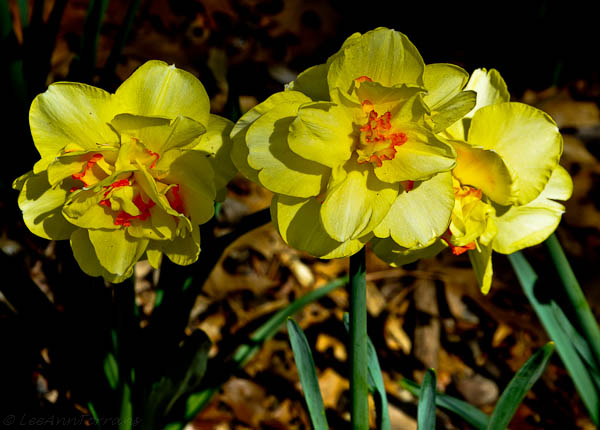 LeeAnnTorrans=Texas-Daffodils-2