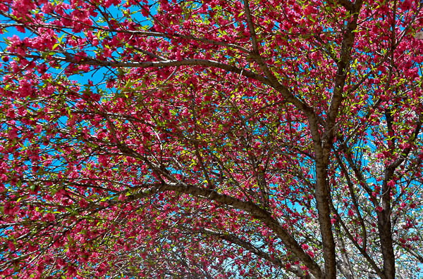 LeeAnnTorrans=Texas-Crab Apple Tree - Dallas