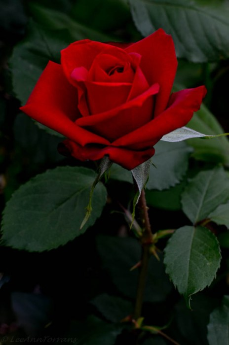 All-America Rose Selection in 1984, Olympiad Hybrid Tea Rose.