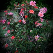 Easy-Does-It-Shrub-Rose-1