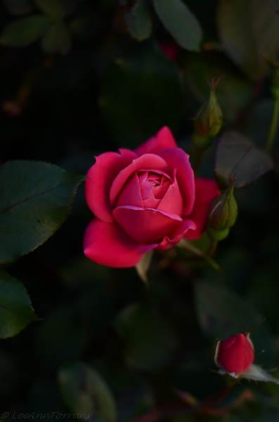 Rose at twilight, Lee Ann Torrans