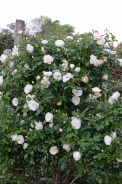 Lee-Ann-Torrans-Iceberg-Shrub-Rose-Texas