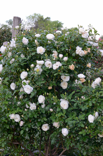 Clear white rose that is a prolific bloomer set against deep, glossy glean leaves.