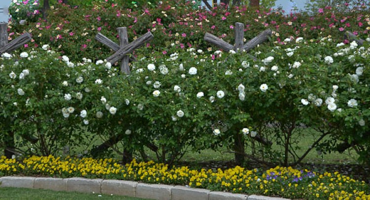 Lee-Ann-Torrans-Iceberg-Shrub-Rose-Texas-33
