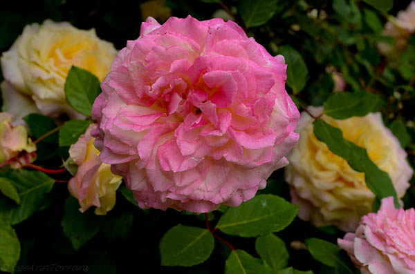 Mrs. Dudley Cross has multiple colors on on rose bush