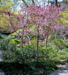 Cherry_Blossom_Tree-2