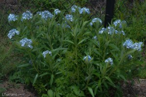 Blue Star, a March and April blooming Texas perennial.