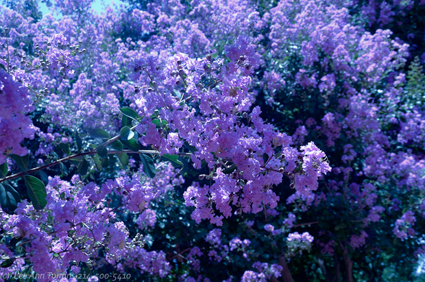 Muskogee_Lavender_Crepe_Mrytle_Lee_Ann_Torrans