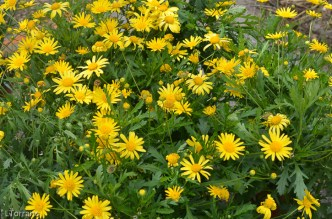 Aster Daisy Yellow