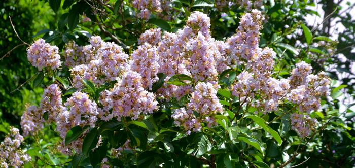 Muskogee_Crape_Myrtle_Tree_Plano_Landscaping_Lee_Ann_Torrans-2