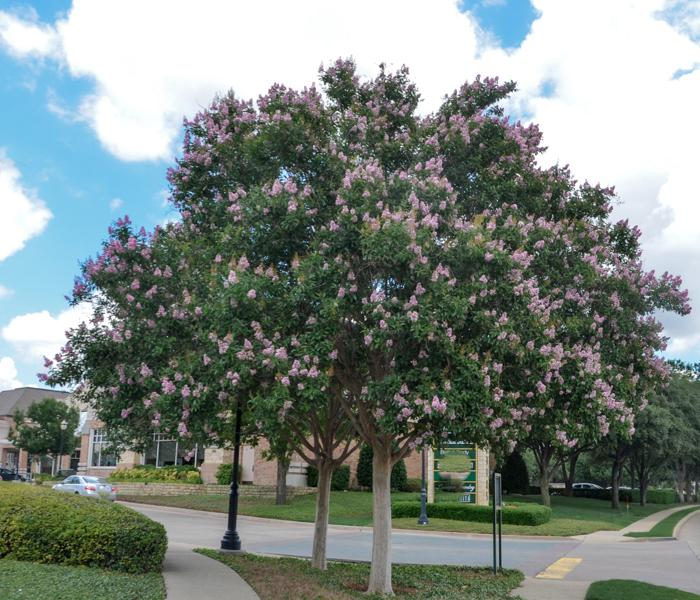 Muskogee_Crape_Myrtle_Tree_Plano_Landscaping_Lee_Ann_Torrans-6