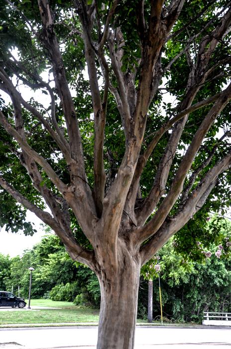 Muskogee_Crape_Myrtle_Tree_Plano_Landscaping_Lee_Ann_Torrans-7