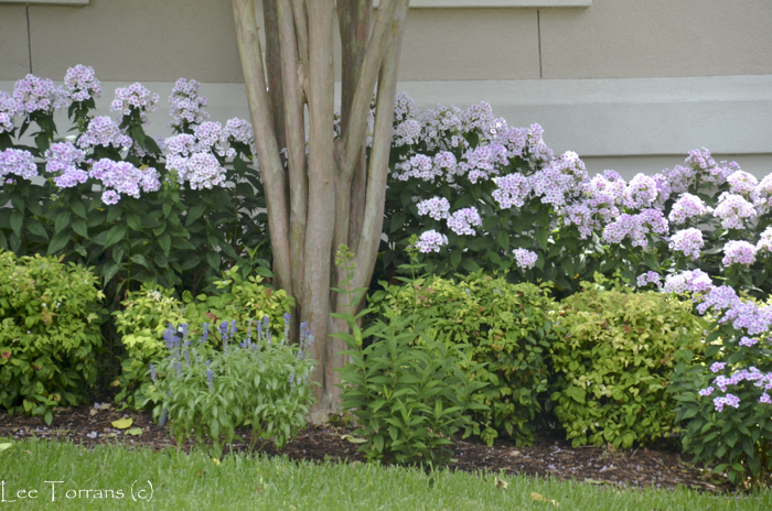 Summer Phlox: Prime Minister, 24 to36 inches tall