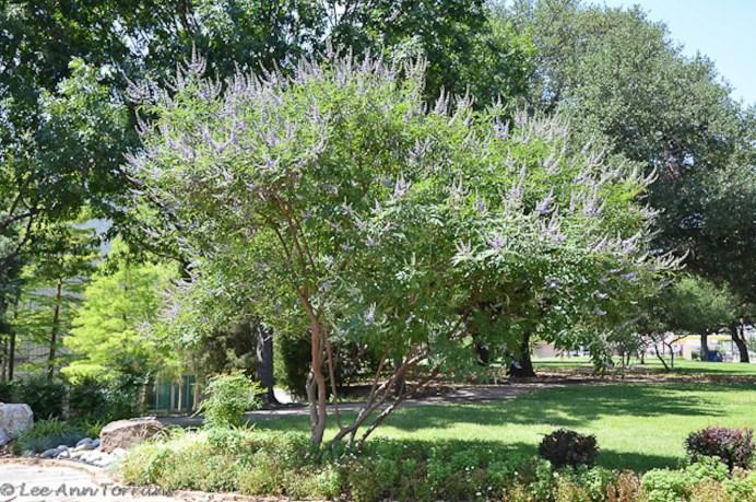 Vitex_Tree_Texas