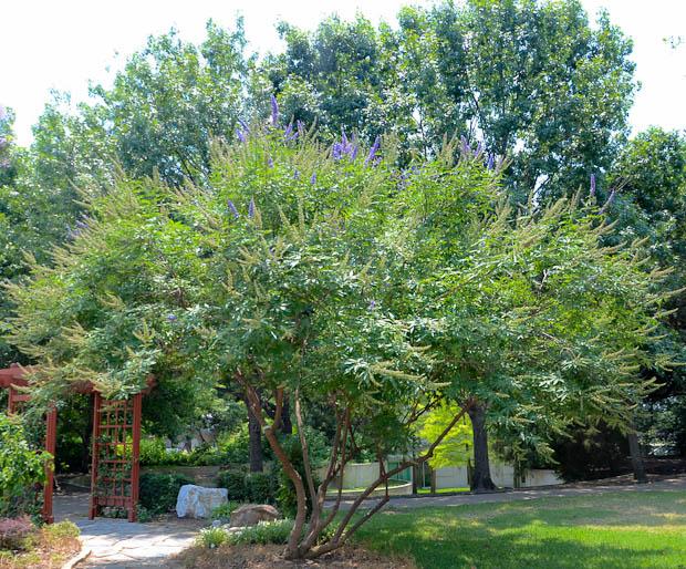 Purple Flowering Tree - Texas Vitex