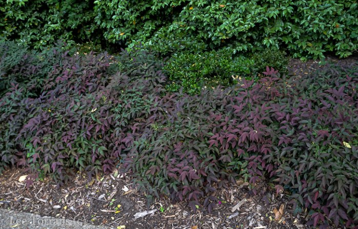 Purple Nandina - Obsession