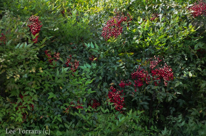 Spring Nandina Berries